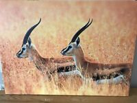 Canvas of two Gazelle (Antelope)