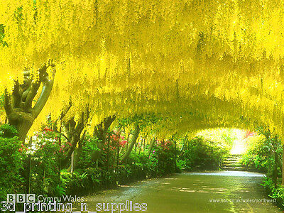 Golden Chain Tree, Laburnum anagyroides, Tree Seeds