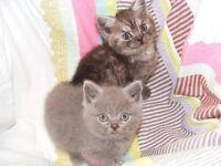 British Silver Tabby/ British Blue Kittens