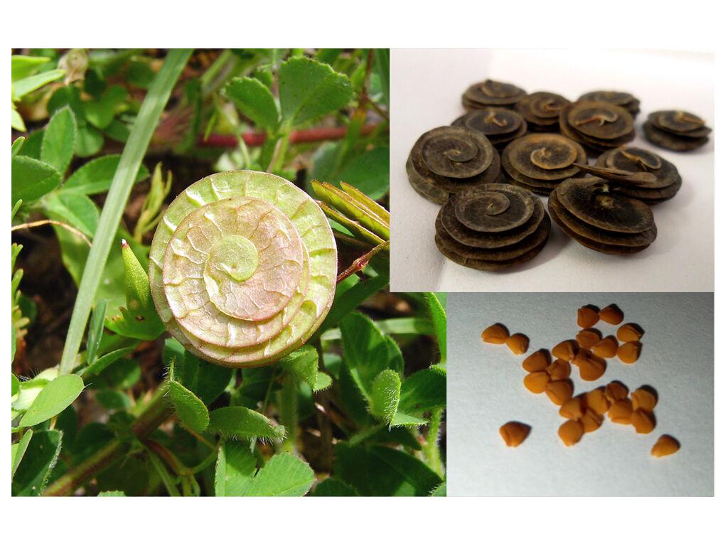 5 Capsule Semi Erba Medica Orbicolare Medicago Orbicularis seeds azotofissatrice