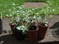 HELICHRYSUM SILVER MIST in 9cm pots at £0.50 each