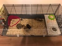 Two guinea pigs plus cage
