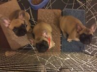 Kc French Bulldog Puppies Ready To Go Now!!!