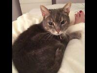 Lost Tabby Cat East Hunsbury