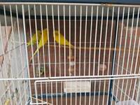 11 Budgies for sale