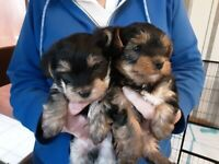 Yorkshire terrier pups (miniature)