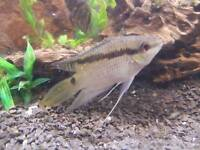 4 Flag Cichlids Fish for sale (tropical) can deliver