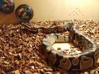 Ball python 1 year old