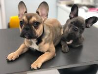 Two French Bulldog Girls for sale