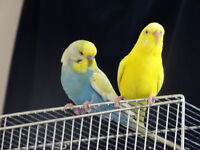 Pair of Beautiful Budgies - Yellow(F) and Rainbow(M) with a Large Cage for sale