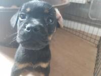 5 Beautiful Puppy French Bulldog cross Labrador