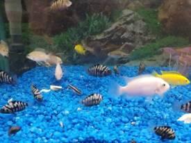Convict cichlid Zebra Aquarium fish
