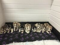 KC registered Siberian Husky puppies