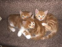 3 Gorgeous friendly Ginger Kittens very soft hair for sale