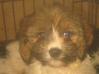 Cocker/Cavalier Spaniel X Jack Russell Puppies