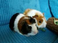 Guinea pigs x2 male
