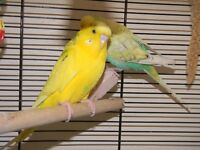 two young male budgies plus cage