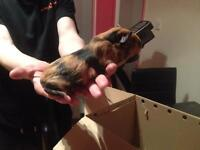 Stunning Young Guinea pig male