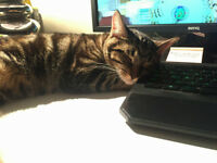 FOUND! Small male tabby, less than a year old, lost in area of westbourne one way system