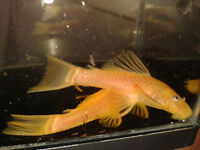 TROPICAL FISH PLECO CATFISH