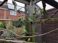 aviary budgies for sale x10 green