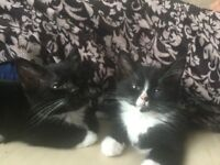 Adorable Black and White Kittens