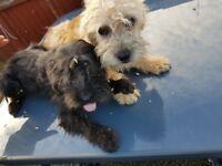 Shih Tzu x Poodle for sale