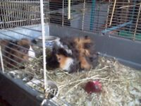 Baby Guinea Pigs 2 boars Ready now