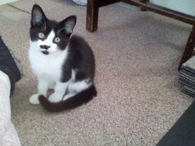 Trained kitten 10 week old