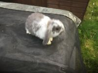 Ready now very cute baby mini lops £30rabbits male and females come with bit hay from £35 to £45