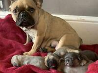 Four (kc registered) Quad carrier French bulldog puppies looking for forever homes