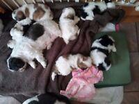 4 beautiful shih tzu puppies