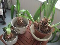 Free - Established Amaryllis potted plants