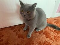 Cute BSH male cat , £800, vaccinated , micro shipped and with passport
