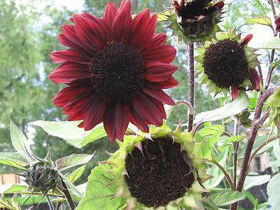 Sonnenblume 20 Samen (20 Samen Helianthus Red Sun - Sonnenblume rot)