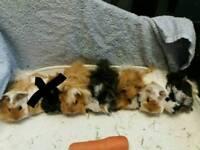 BABY PERUVIAN GUINEA PIGS