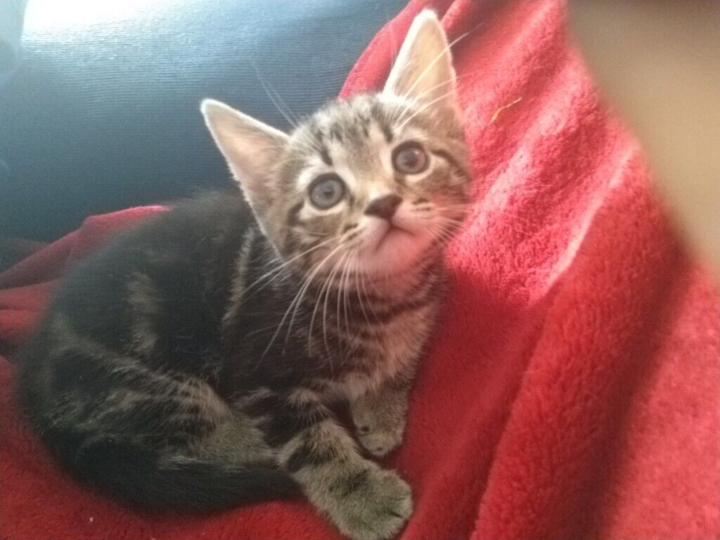 5 Images Beautiful Litter Bengal Cross Kittens Ready Now Honiton