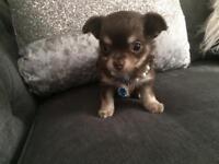 Pedigree Chocolate Chihuahua
