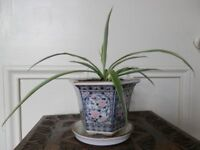 Spide plant Chlorophytum Young Pendent HOUSE PLANT with Ceramic Planter