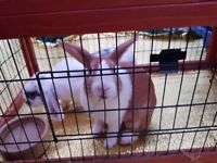 two rabbits male and female with a house , food and equipment.