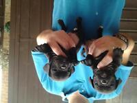 beautiful black jug puppys