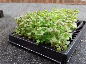 Reduced Geranium and lobelia plug plants