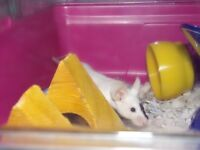 2 Fancy mice with cage and accessories