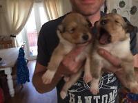 Rough collie puppy's