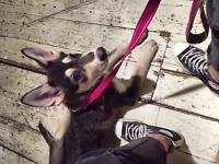 5 months German shepherd & husky Mixed girl for sell