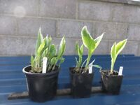 HOSTA PLANTS FOR SALE
