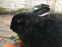 Rabbit neutered boy lop