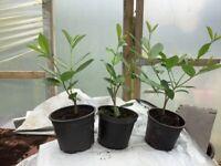 LAUREL HEDGING PLANTS. 12/18 ins £2-50