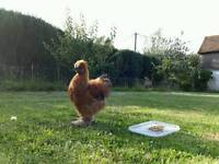 Silkie cockerel for sale