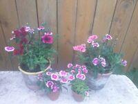 Four planted terracotta pots
